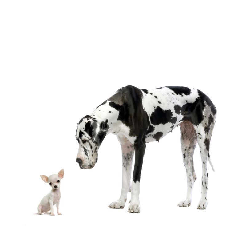 大丹·哈勒金和小狗奇瓦瓦在白色背景前相依为命