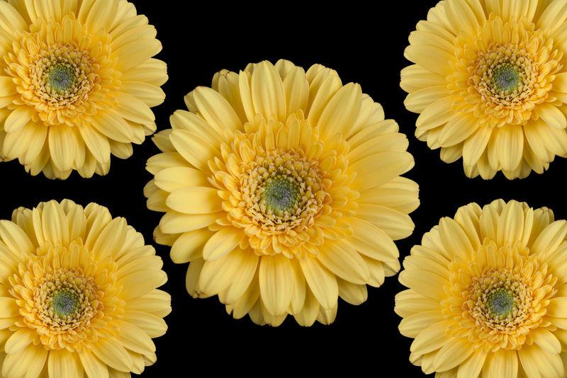 黄色非洲菊