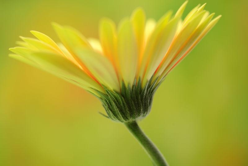 黄色非洲菊隔离在黄色背景上