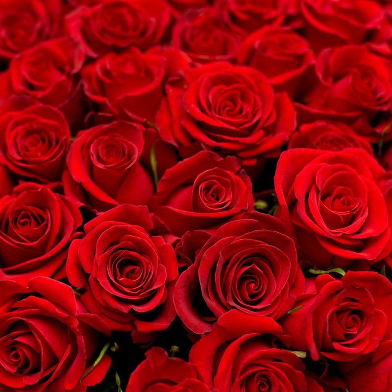 许多红玫瑰在浅自由度拍摄