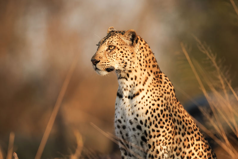 豹-野生动物-卡拉哈里-南非