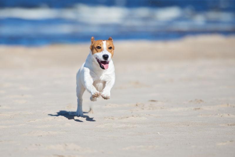 杰克拉塞尔梗狗在海滩上奔跑