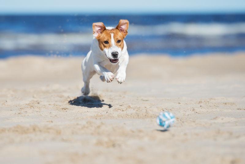 杰克拉塞尔梗狗在海滩上玩耍