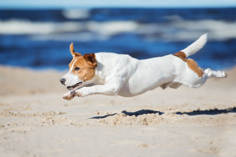 杰克拉塞尔梗狗在海滩上跳跃