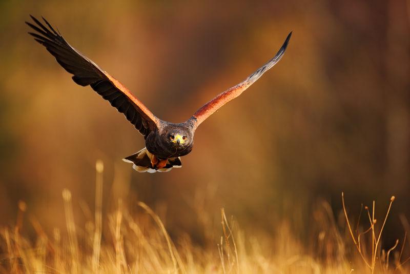 捕食飞鸟-哈里斯鹰-独角兽助手-在夜光中在草地上飞翔