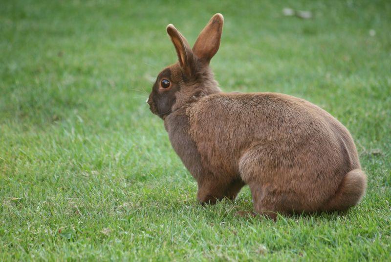 黄石国家公园绿草上的野兔杰克