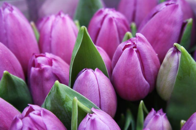 紫罗兰郁金香