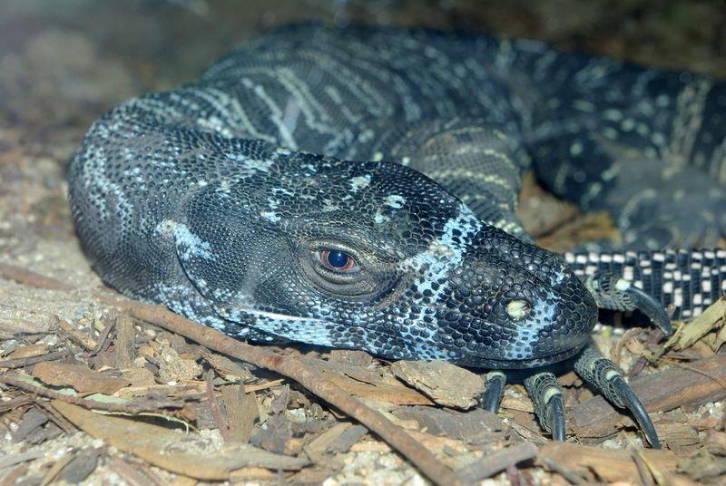 澳大利亚蜥蜴。