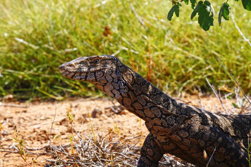 澳大利亚Goanna/Lace监测仪(Varanus varius)。