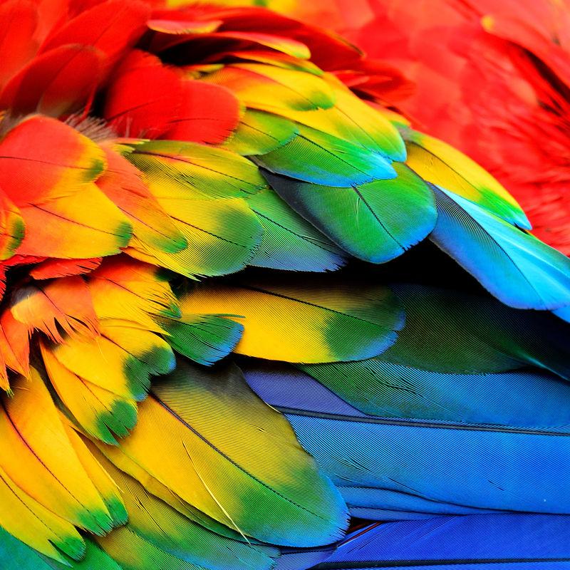 红黄色和蓝色羽毛的红色金刚鹦鹉美丽的颜色轮廓