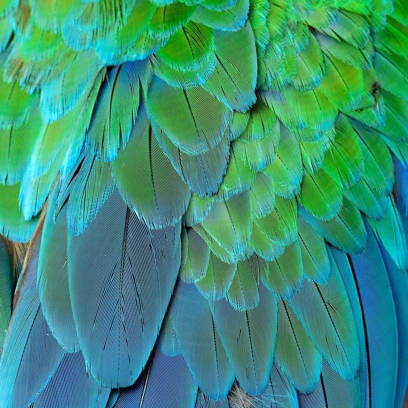 绿色和蓝色的背景-大绿色的金刚鹦鹉或水牛的羽毛-精致的绿色和蓝色纹理