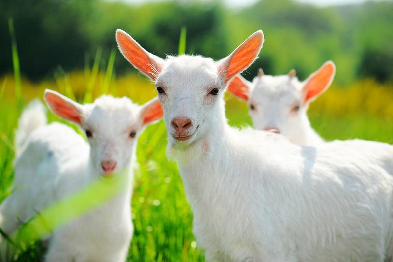 牧场上的山羊
