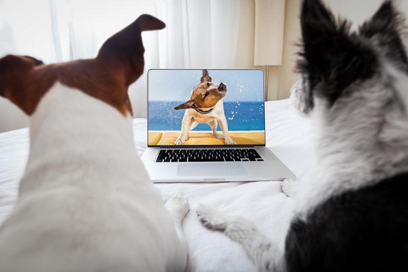 几只狗在卧室里的笔记本电脑上看电影-紧紧地挨在一起