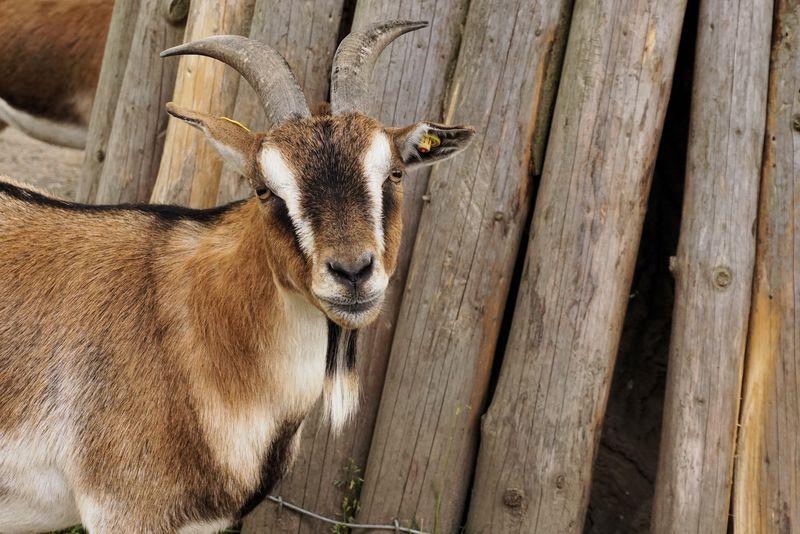 羚羊-大型哺乳动物-游猎