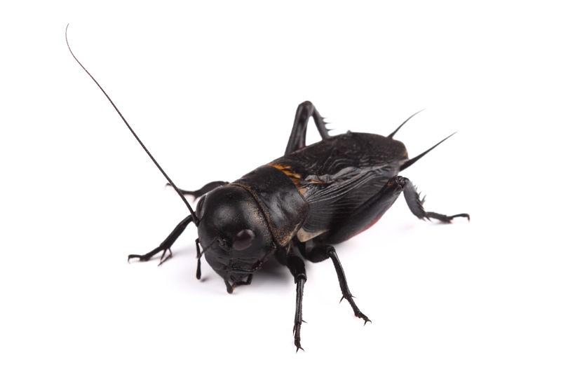 白地上的蟋蟀