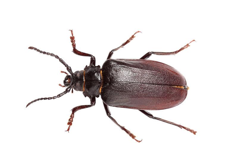 白色分离的甲虫