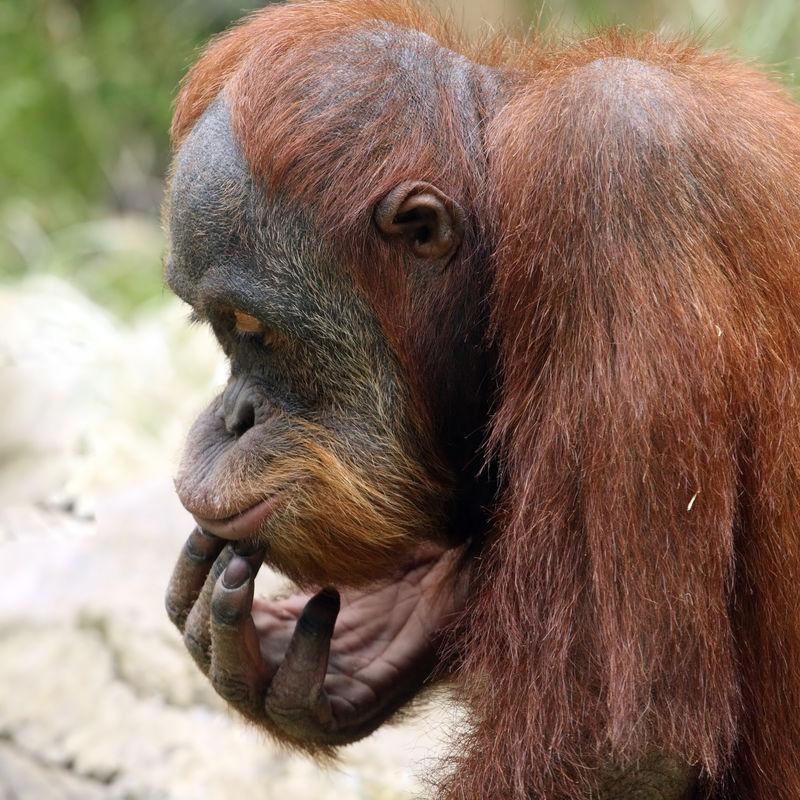 在布拉格动物园冥想猩猩-捷克共和国欧洲