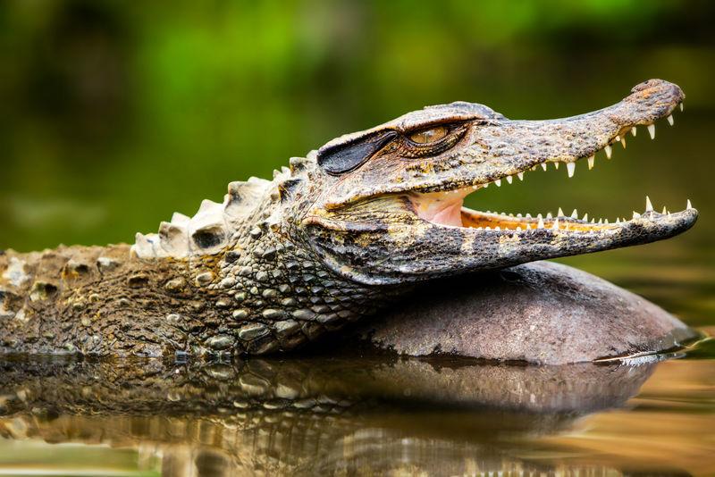 野生鳄鱼。