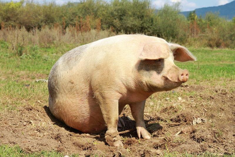 在农场附近长母猪
