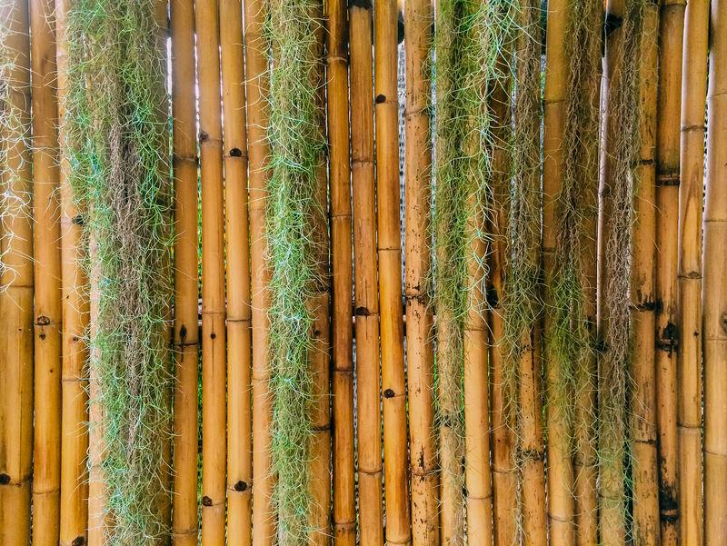 竹底西班牙苔藓