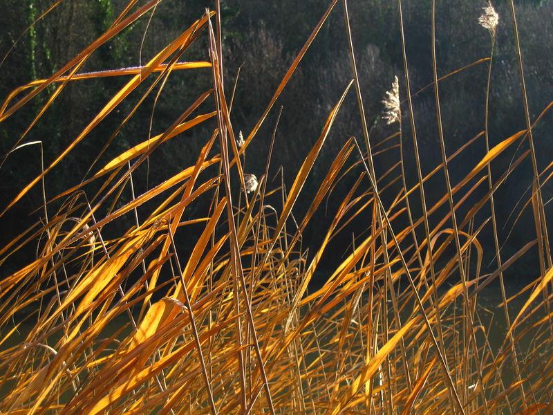 泰晤士河上冬季阳光下的干芦苇河岸