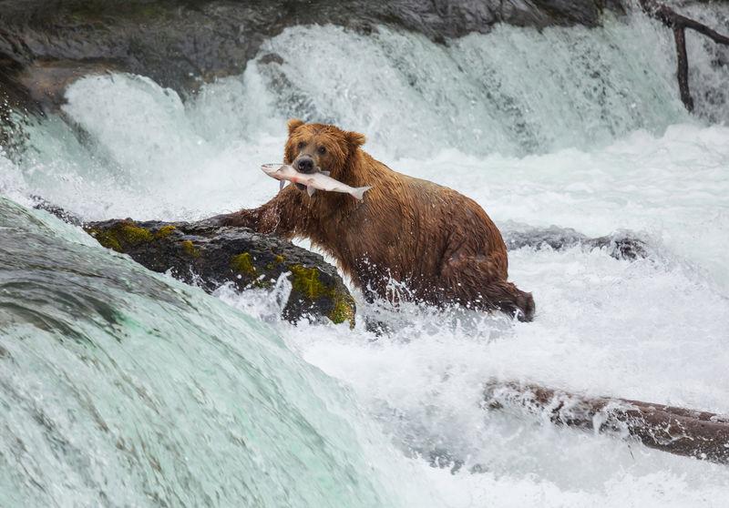 熊在阿拉斯加