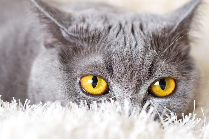 藏在地毯上的灰色英国猫