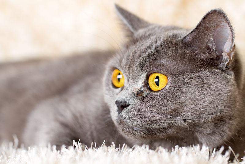 躺在浅色地毯上的灰色英国猫