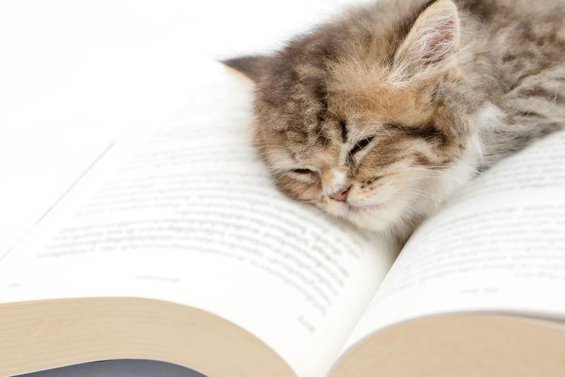睡在书上的波斯小猫