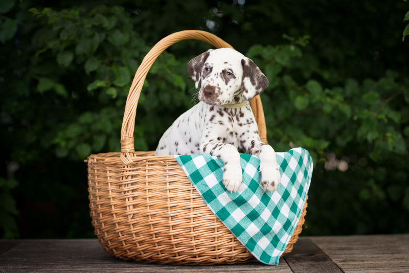 篮子里可爱的达尔马提亚小狗