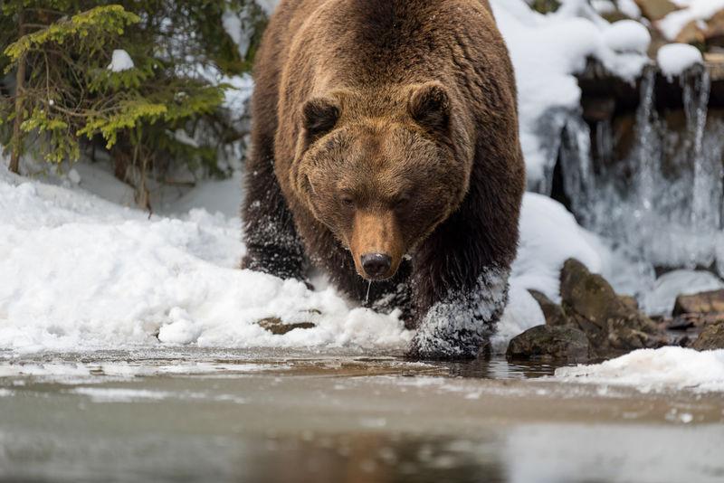 森林湖边的野生棕熊