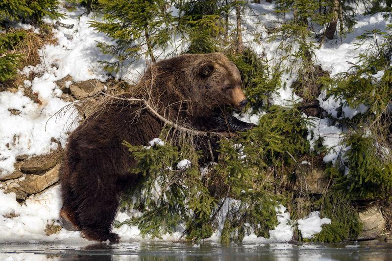 冬林野生棕熊