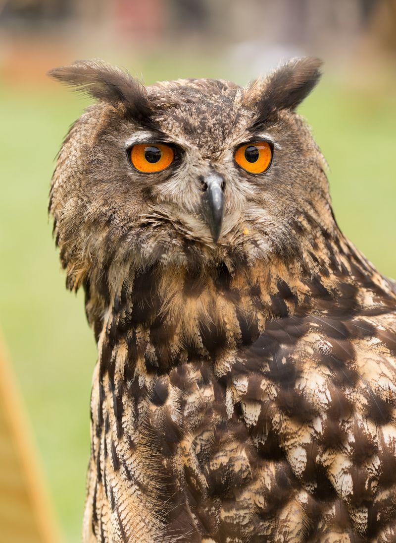 野生猫头鹰