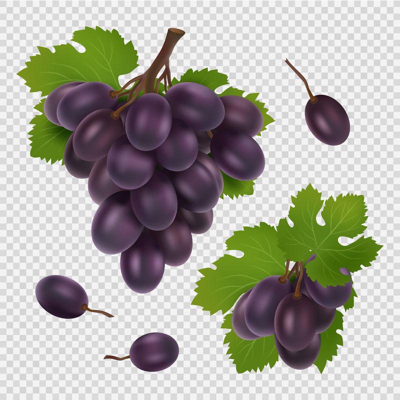 黑葡萄矢量图。一束葡萄、树叶和浆果的真实矢量图像被隔离在透明的