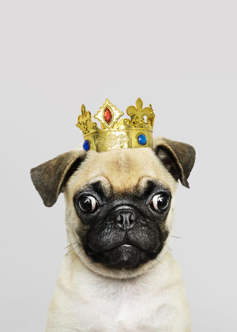 戴皇冠的哈巴狗