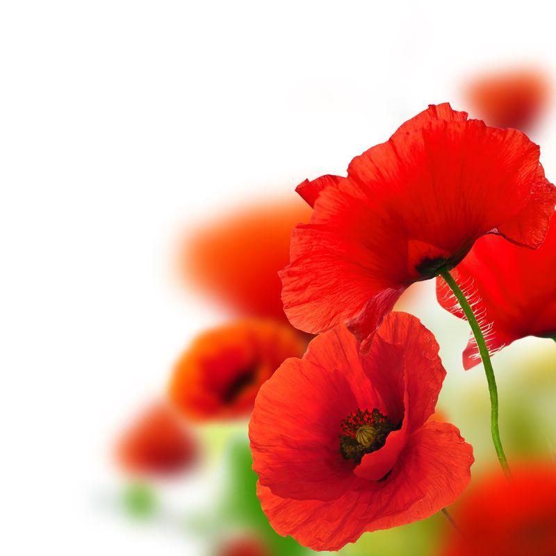 罂粟白色的背景,红色的花,框架