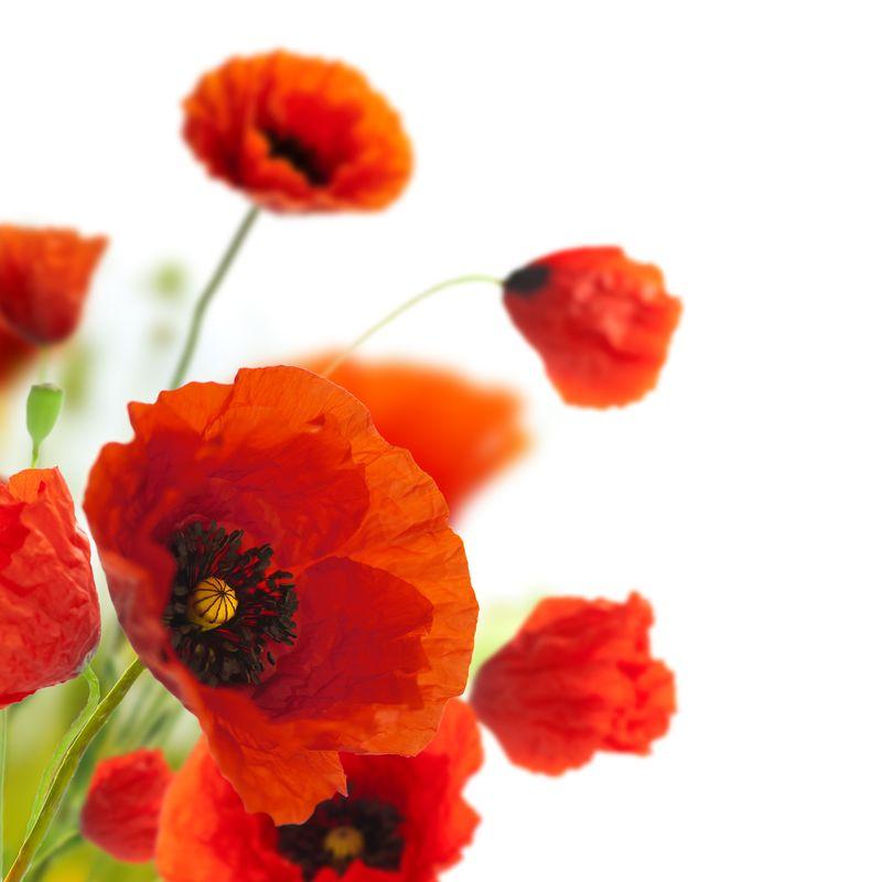 花卉设计、装饰花卉、罂粟边角