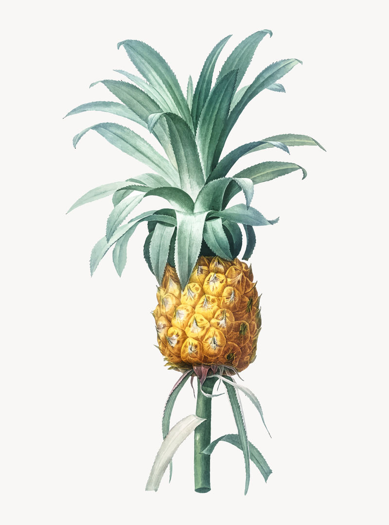 菠萝复古插画