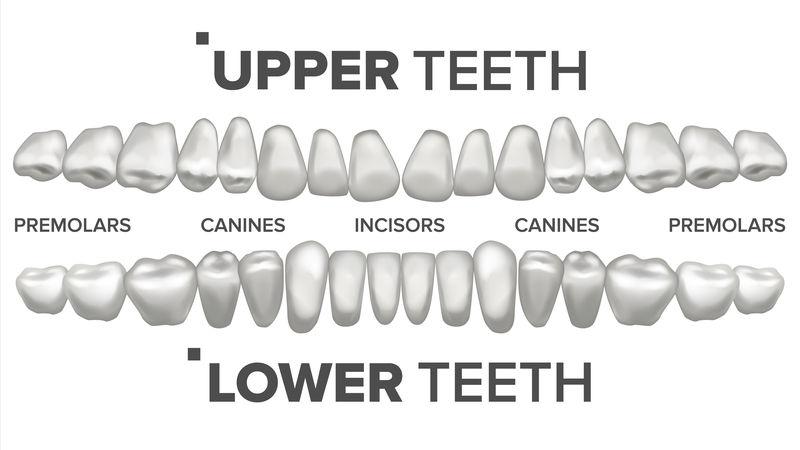 三维齿集矢量。人类的牙齿。牙齿健康。口腔牙科学。三维洁白牙齿模型。逼真的独立插图
