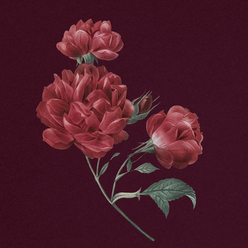 优雅的红色法国玫瑰花束手绘插图