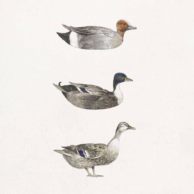 手绘水彩鸭集设计元素