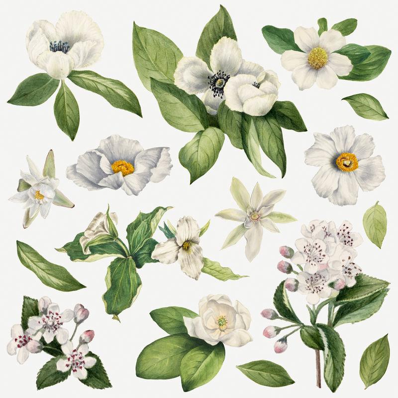 白花植物插画