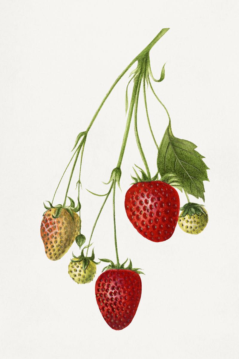 草莓插画模型的复古分支