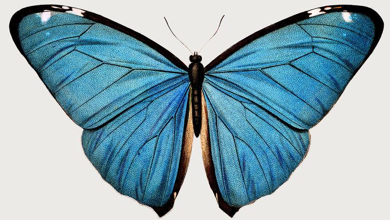 复古常见蓝色蝴蝶插图设计元素