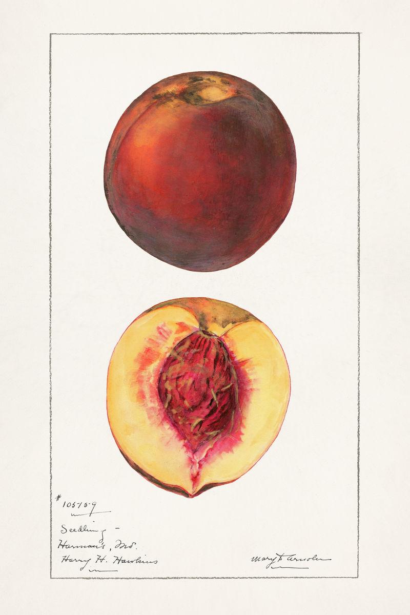 经典桃子插图模型