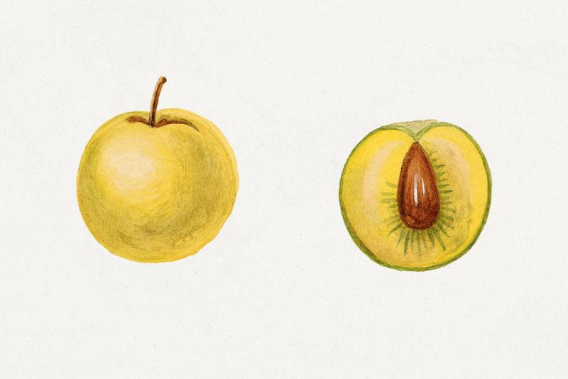 复古樱桃李子插图模型