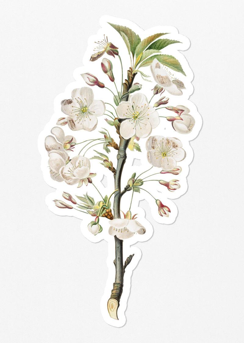 手绘梨树花枝白边贴纸