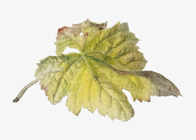 Vintage leaf植物学插图矢量由Willem van Leen的艺术作品混合而成