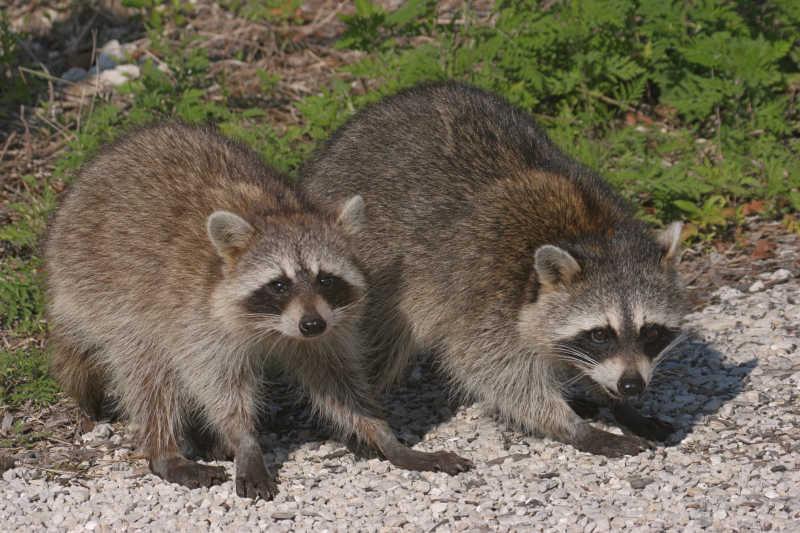 石子路上行走的两只浣熊