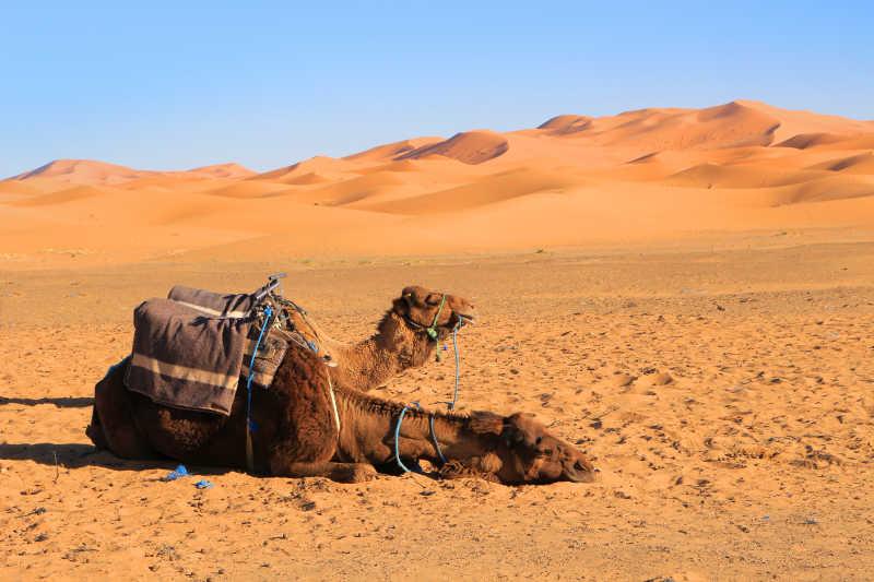 沙漠中歇脚的两匹骆驼